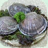 가리비 1kg 조개 (5~8미) 포항 죽도시장