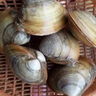 웅피 1kg 조개 (3~7미) 포항 죽도시장